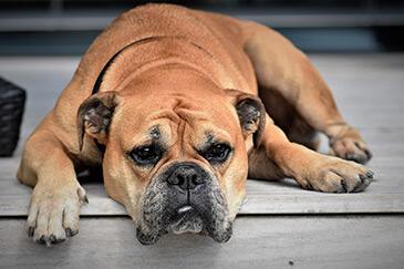 Symptome eines Arthrose Hund