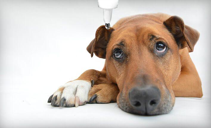 Mittel gegen Piz und Milben beim Hund