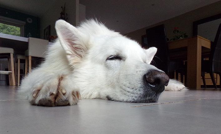 Grnlippmuschel für Hunde