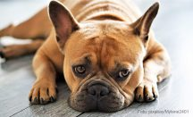 Blutohr Hund