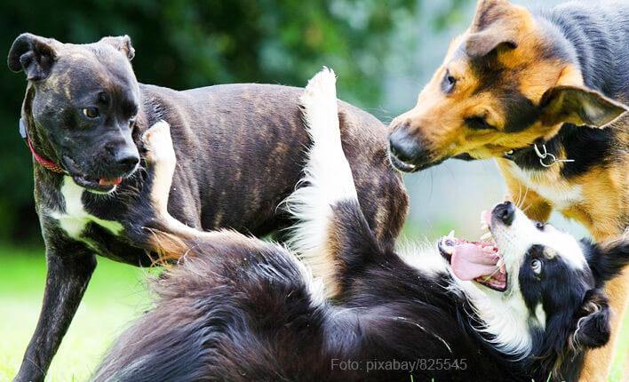 So entsteht ein Blutohr beim Hund